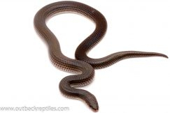 Sunbeam Snake for sale