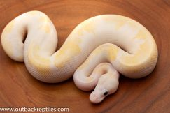 Super Fire Ball Python for sale