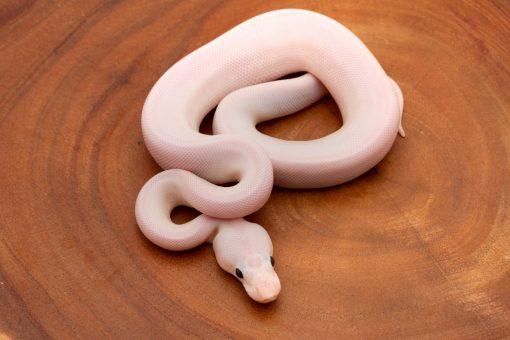 super fire ball python for sale