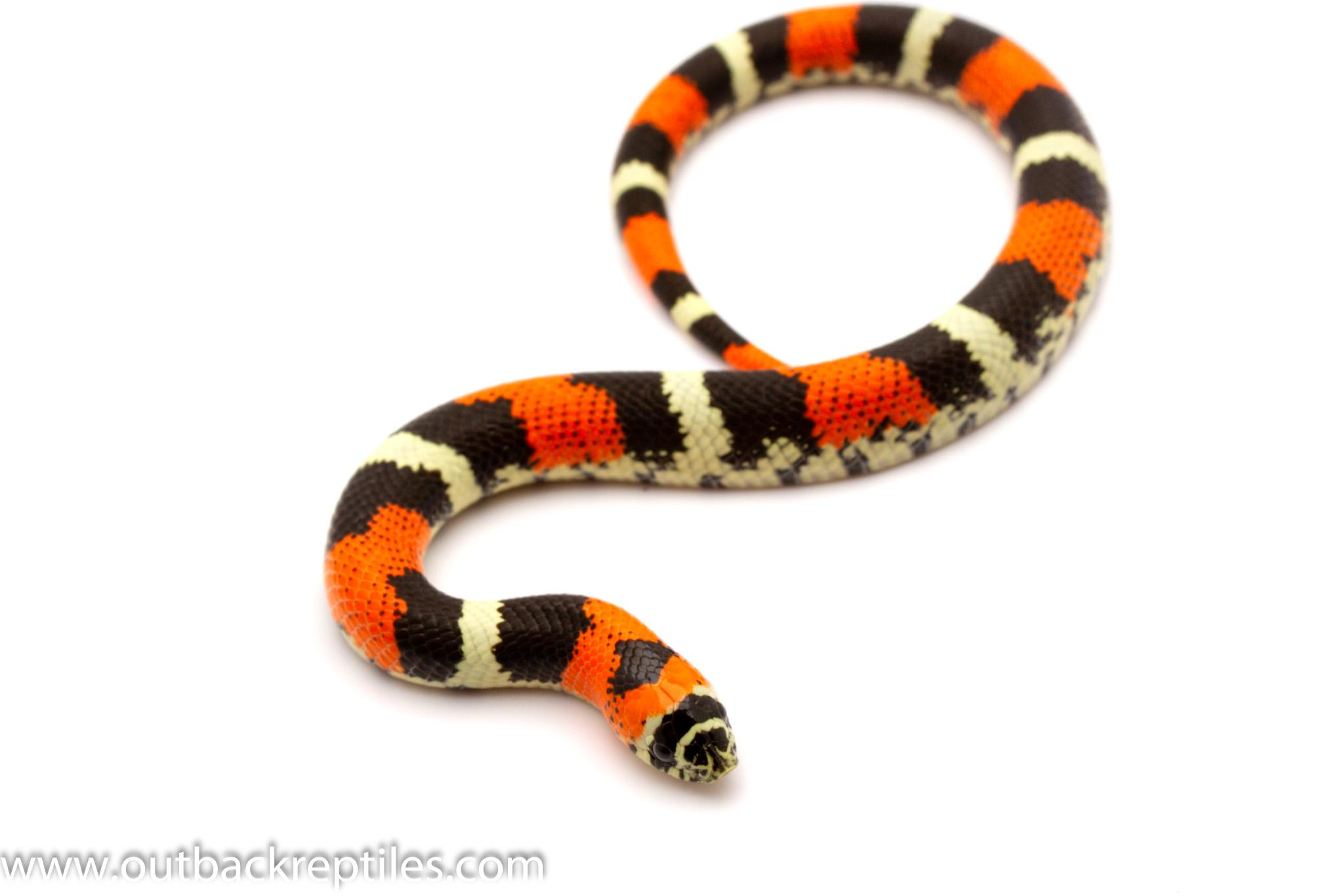 hognose snake for sale