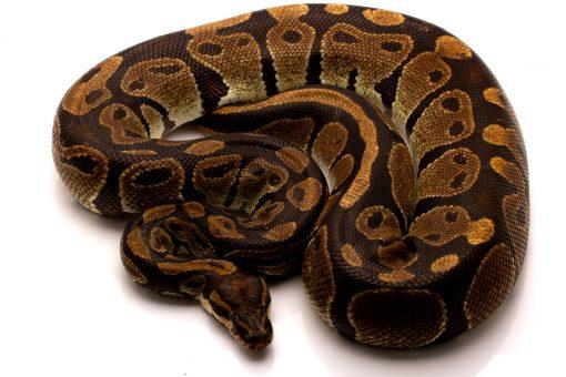 volta python for sale