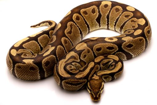 Volta ball python for sale