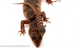 Sulawesi Water Skink for sale