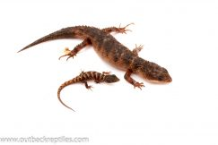 Water skink for sale