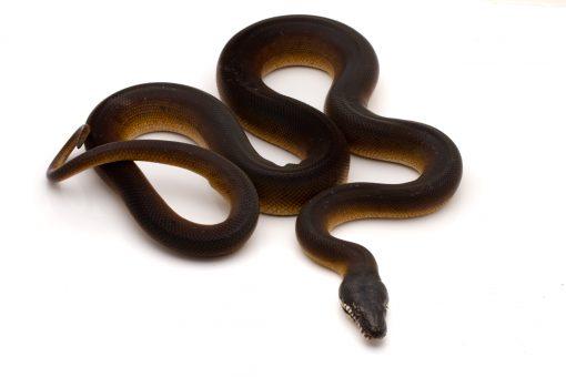 White Lip python for sale