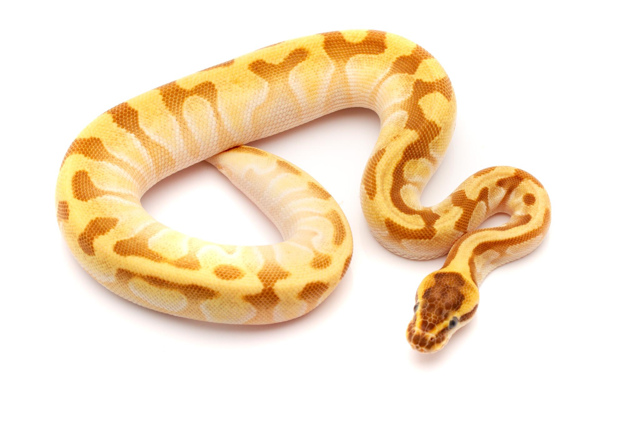 Super enchi for ball python for sale