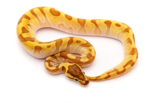 super enchi ball python for sale