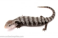 Axanthic Blue tongue skink for sale