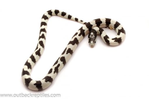 California king snake for sale