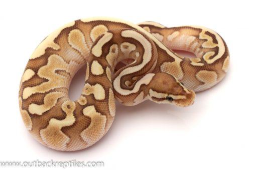 fire lesser ball python for sale