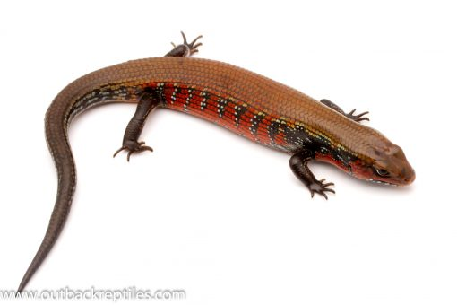 Fire skink for sale