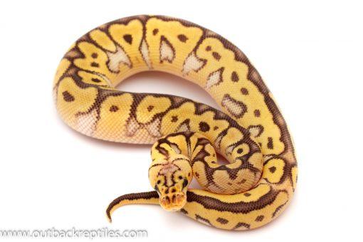 Killer Clown Ball python for sale