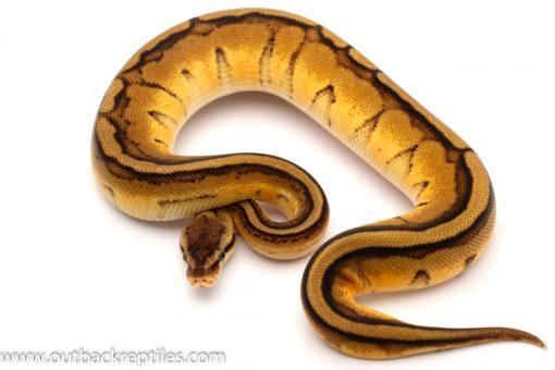 Genetic Stripe ball python