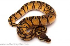 red stripe ball python for sale