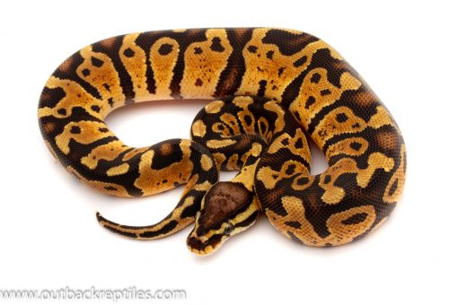 Sable Ball python for sale
