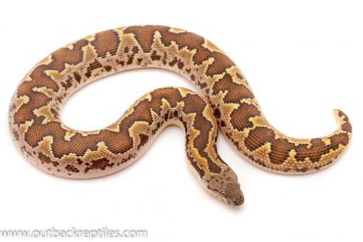 Rough Scale Sand Boa for sale