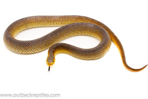Schaphiophis Hooked nose snake for sale