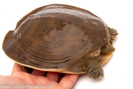 Softshell turtle for sale