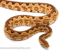 Solomon Island Ground Boa for sale