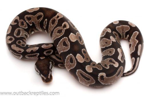 VPI Axanthic Ball python for sale