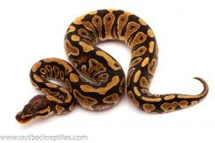 Het clown ball python for sale