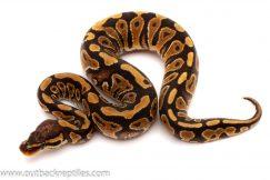 Het clown ball python for sale