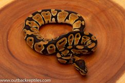 Dinker ball python for sale