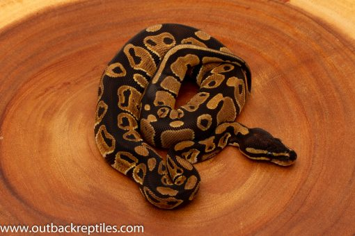 Baby Dinker ball python for sale