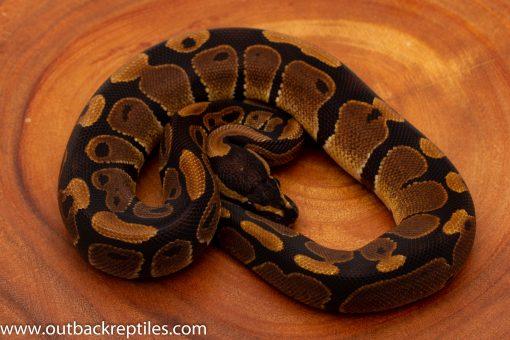 Baby Ball Python for sale