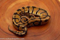 Dinker Ball Python for sale