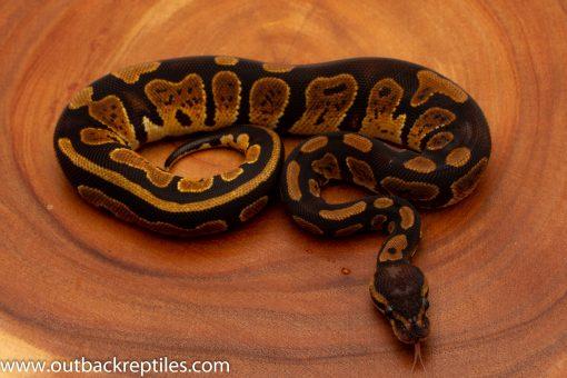 Granite ball python for sale