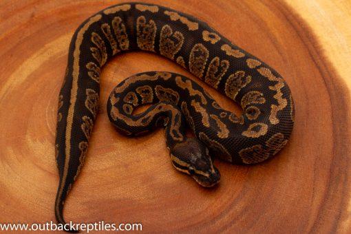 Black Granite ball python for sale