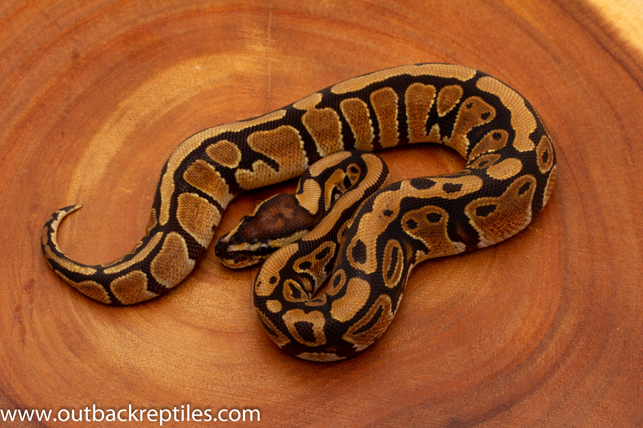 African Import ball pythons for sale
