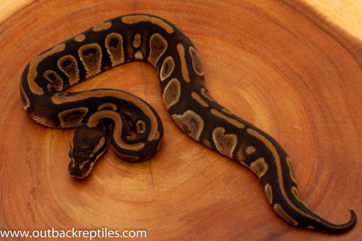 Wookie Ball Python for sale