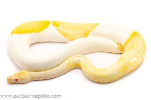 Albino Pied ball python for sale