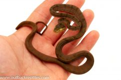 Amazon tree boa for sale