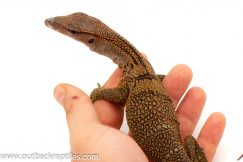 Black Roughneck Monitor for sale