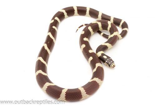 California King Snake For sale