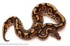 Cinnamon ball python for sale