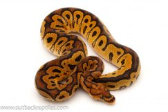 Clown Ball Python for sale