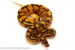 Enchi Yellow Belly Ball Python for sale