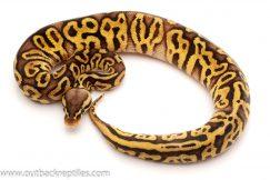 Pastel leopard ball python for sale
