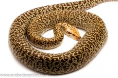 Burmese python for sale