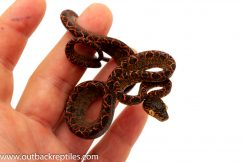 Halloween Amazon tree boa for sale