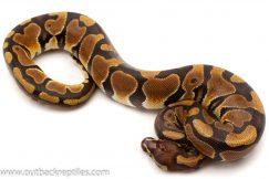 Scaleless Head Ball Python for sale