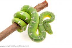 Emerald Tree Boa for sale