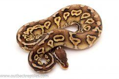 Black Head Ball python for sale