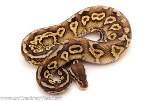 Black Head Ball python for sale