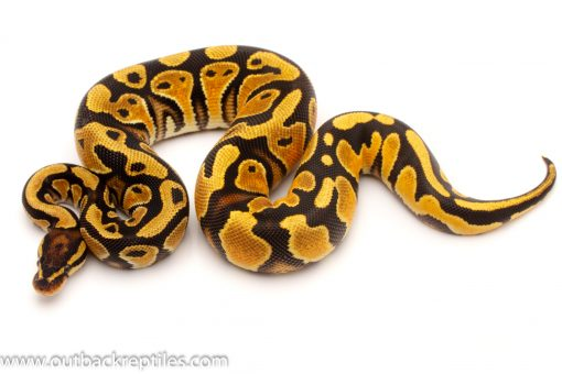 Daddy Ball Python for sale