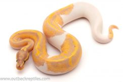 Banana Pied for sale